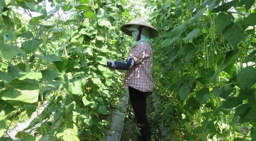 harvesting-green-beans_jbm2de